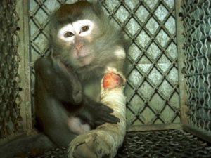 Una scimmia da laboratorio