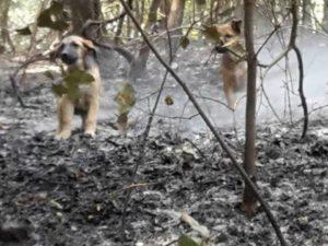 Cani sul Vesuvio