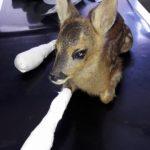 """Colli Berici, strage di cuccioli di capriolo durante attività di falciatura. """"Posticipare lo sfalcio"""""""