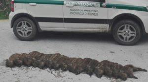 I cuccioli di cinghiale a Cuneo