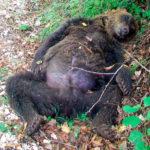 """L'aquila, assolto imputato di aver ucciso un orso: """"Sentenza a dir poco discutibile"""""""